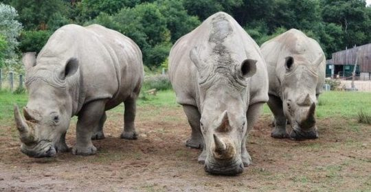 World's first test-tube rhinos could be born from animals at Longleat safari park