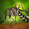 Zika shrinks mice testicles and lowers fertility