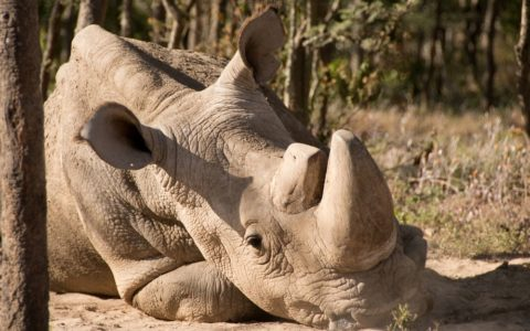 Scientists turn to experimental IVF as last male northern white rhino dies in captivity